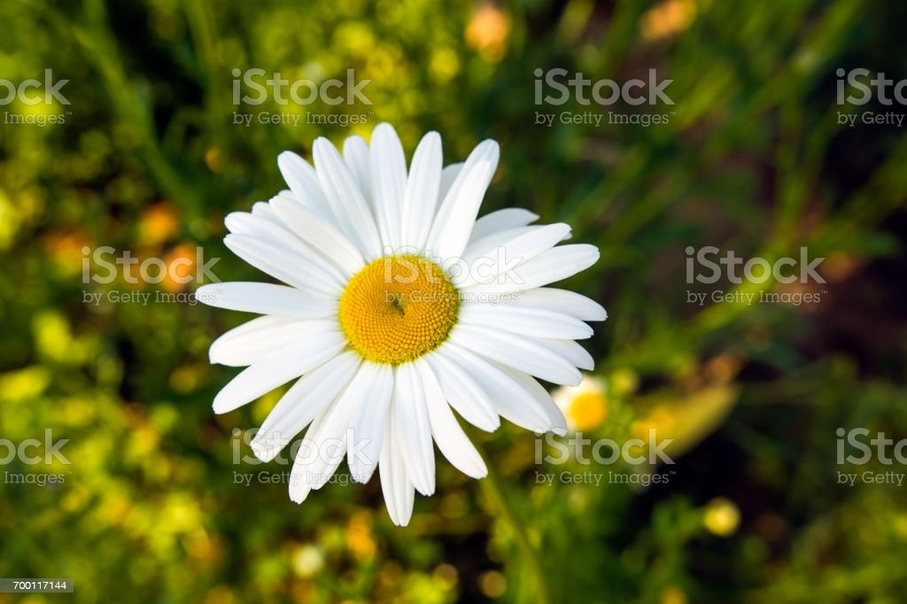 White daisy flower in sunlight stock photo