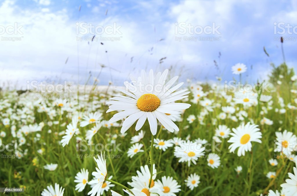 white daisy flower over blue sky royalty-free stock photo