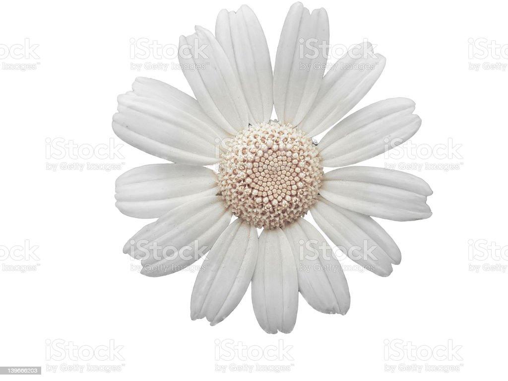 white daisy flower royalty-free stock vector art