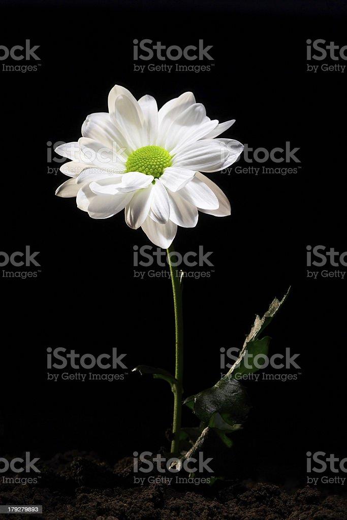 White daisy flower royalty-free stock photo
