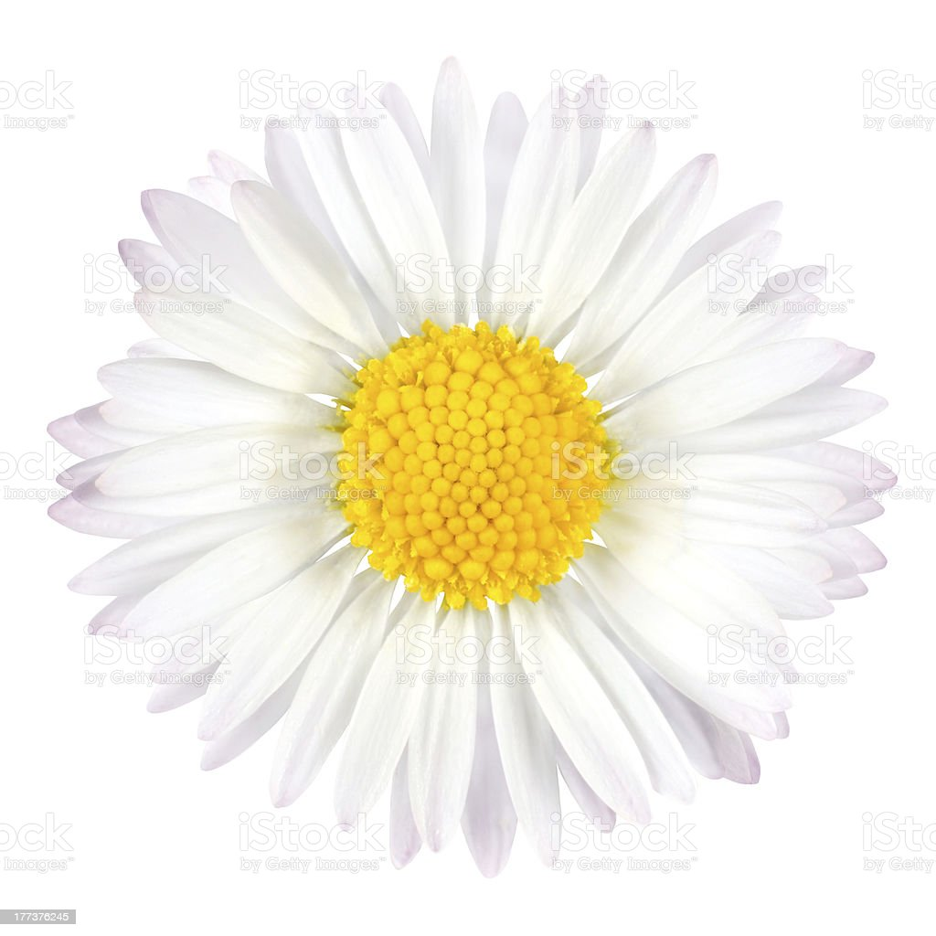 White Daisy Flower with Yellow Center Isolated stock photo