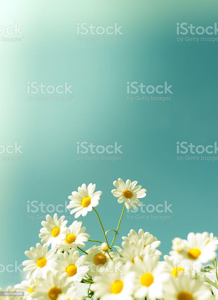 White daisy flowers against the sky stock photo