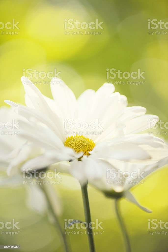 White daisy flowers in the sunshine royalty-free stock photo