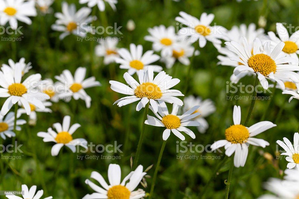 white daisy , flowers. stock photo