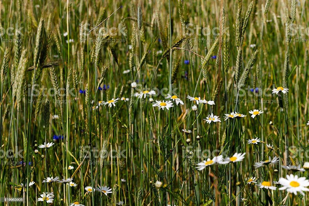 white daisy  flowers. stock photo