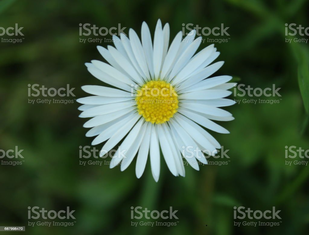 A white daisy in spring time stock photo