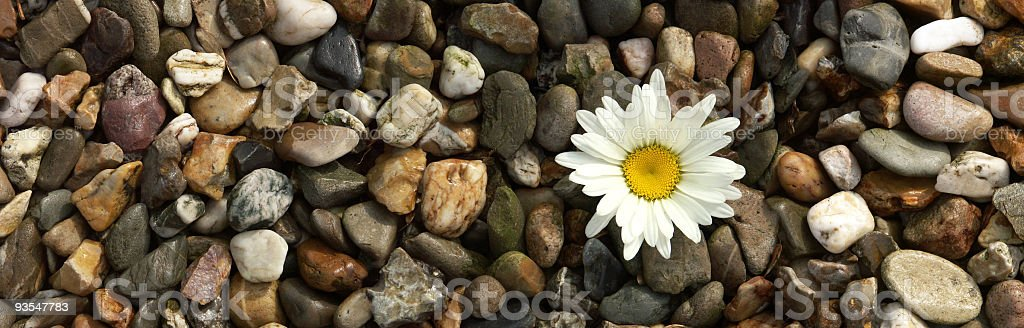 White daisy on a path with pebbles royalty-free stock photo