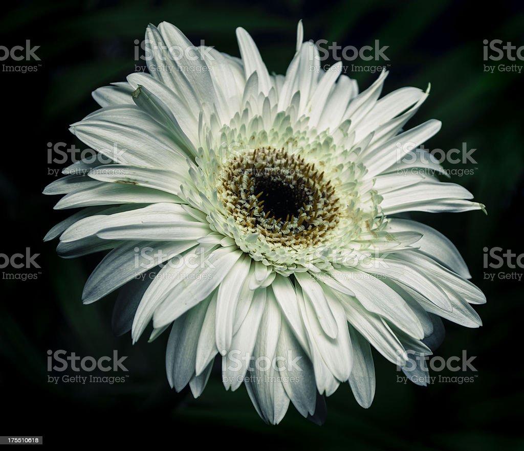 white daisy on isolated black background stock photo