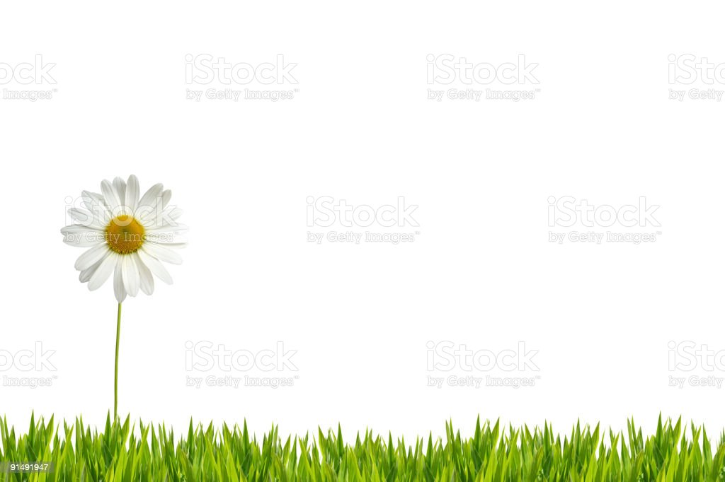 White daisy on lawn XXL royalty-free stock photo