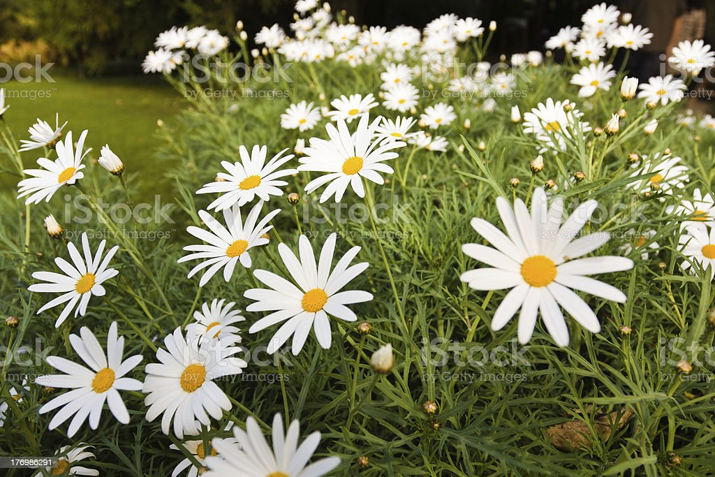 white daisy royalty-free stock photo