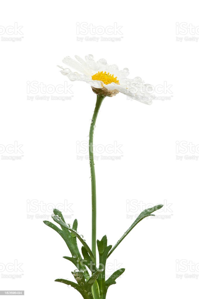 White daisy royalty-free stock photo