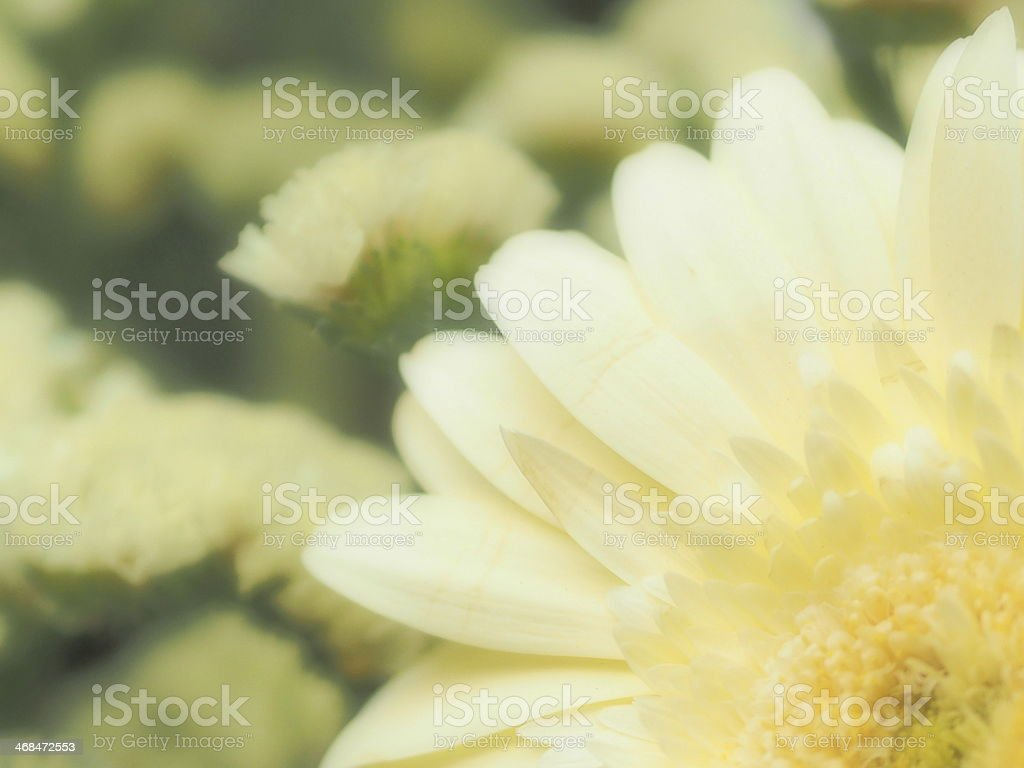 Белая маргаритка Стоковые фото Стоковая фотография
