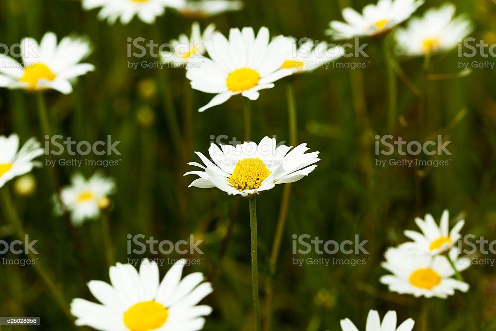 white daisy ,  spring stock photo