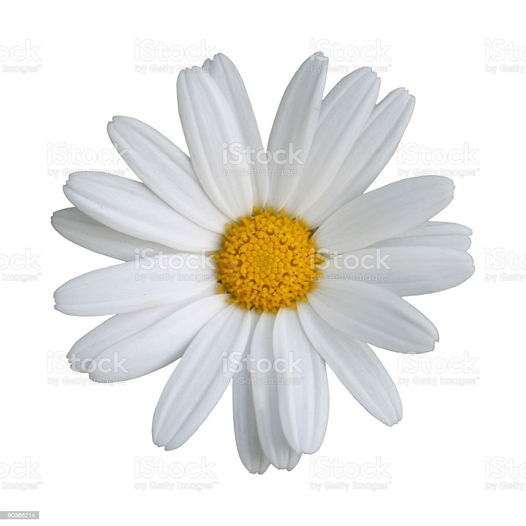 White daisy with a yellow flower head stock photo