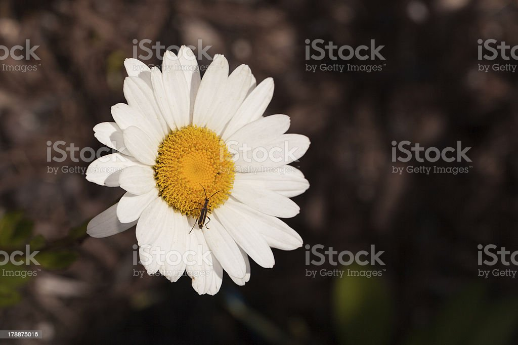 White Daisy with Insect royalty-free stock photo