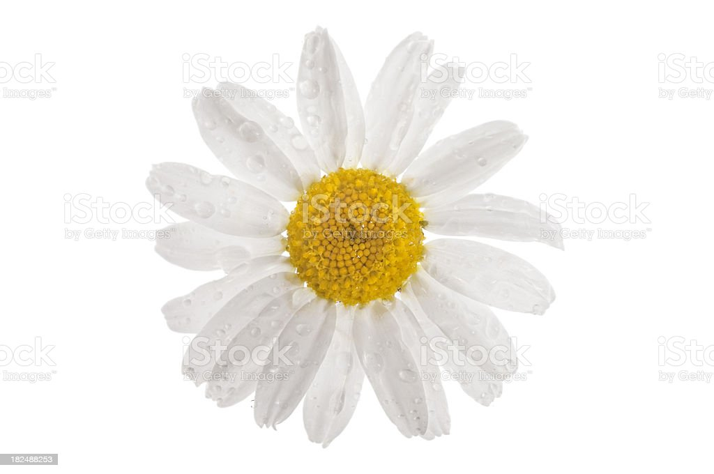 White daisy with water droplets royalty-free stock photo