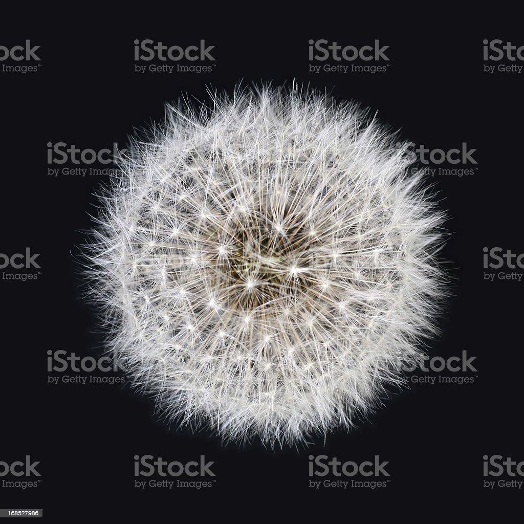 White dandelion isolated on black background stock photo