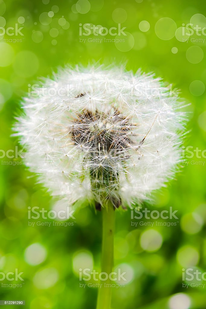 White dandelion on a green background with bokeh stock photo