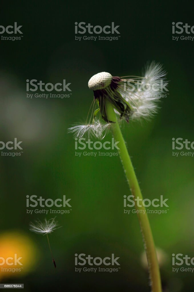 white dandelion on black background stock photo