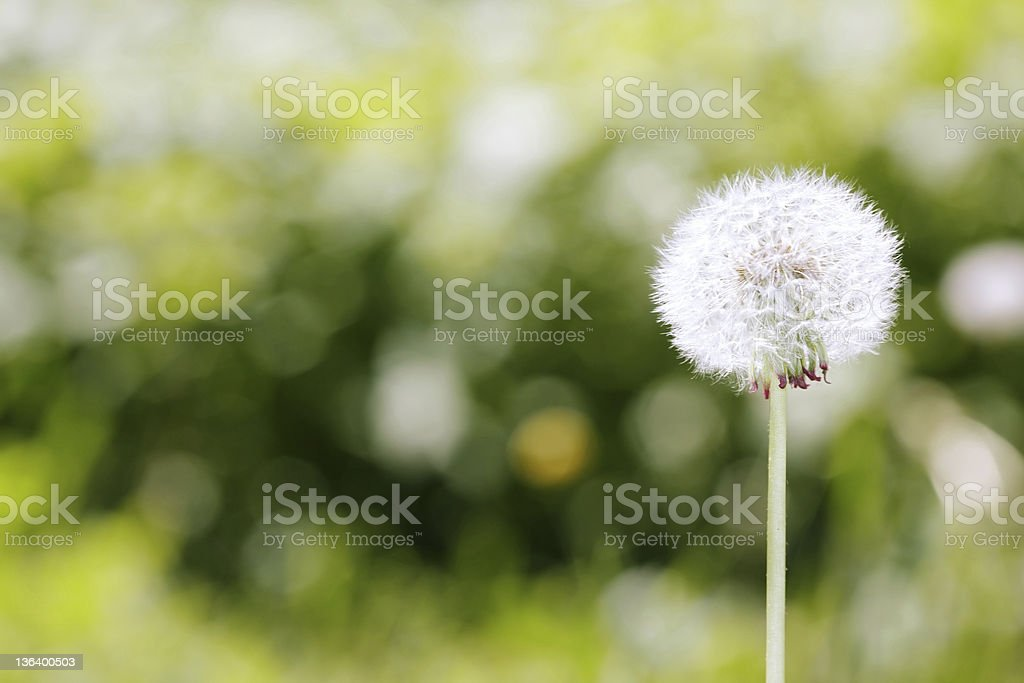 White dandelion on blurred grassy background  stock photo