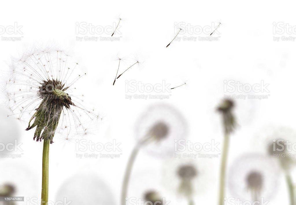 white dandelion on field royalty-free stock photo