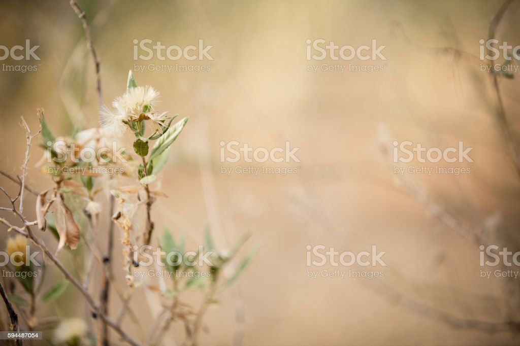 White Dandelion with Seeds stock photo