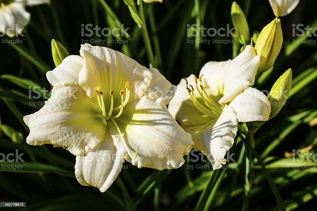 White Day Lilies in late afternoon light (XXXL) royalty-free stock photo