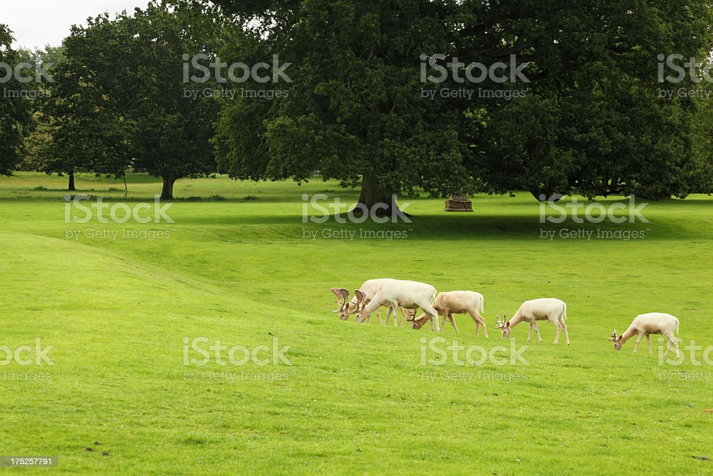 white deer grazing in green english park with chestnut trees royalty-free stock photo