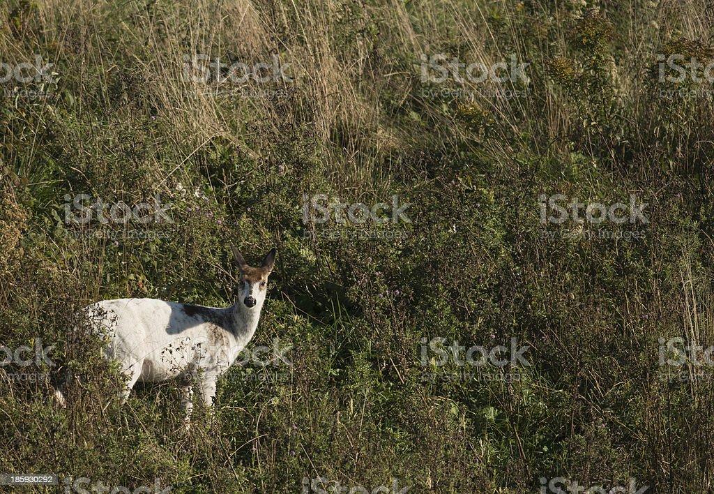 white deer2 stock photo