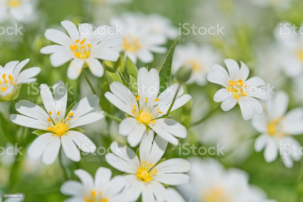 White delicate flowers of Stellaria close up. stock photo