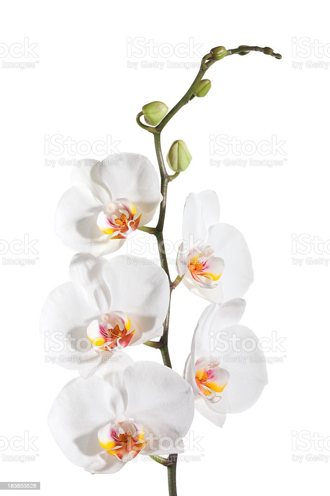 White delicate orchid on white background stock photo
