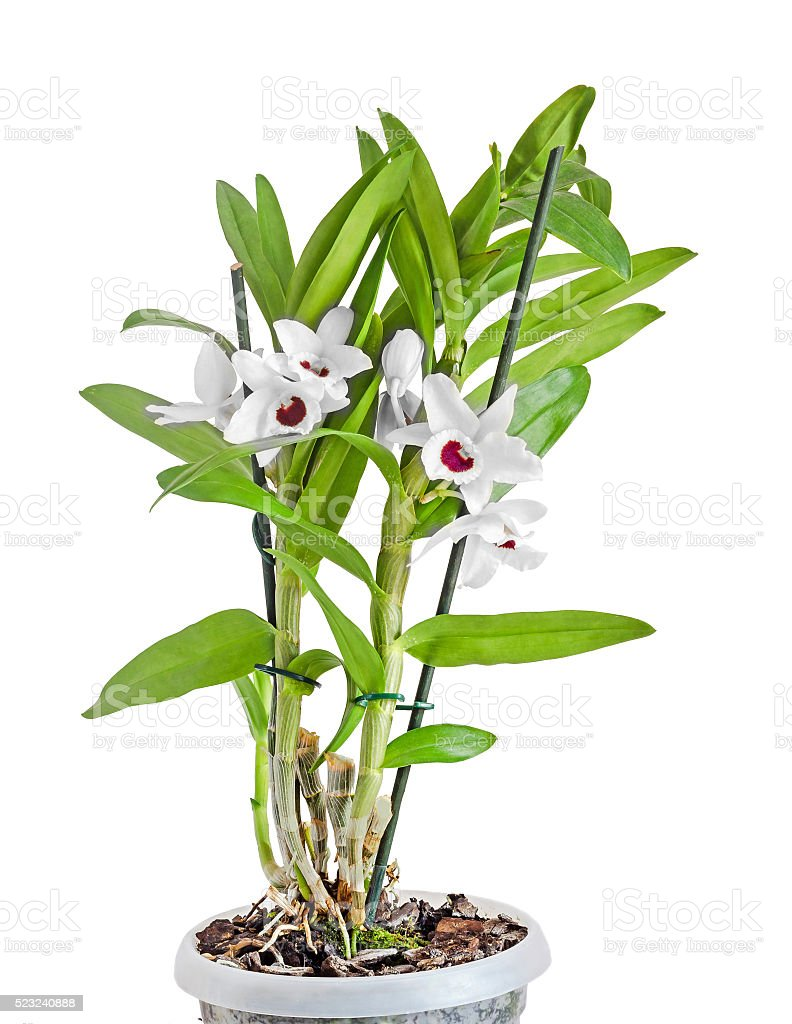 White dendrobium nobile flowers, branch, green leaves, plant stock photo