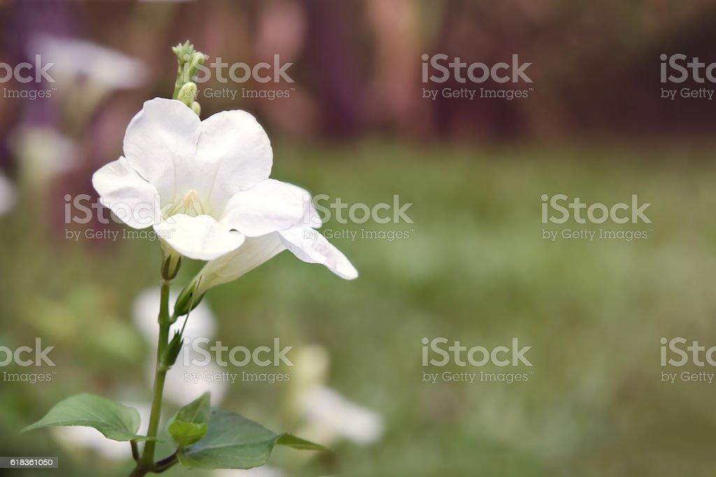White Desert rose flower (Other names are desert rose, Mock stock photo