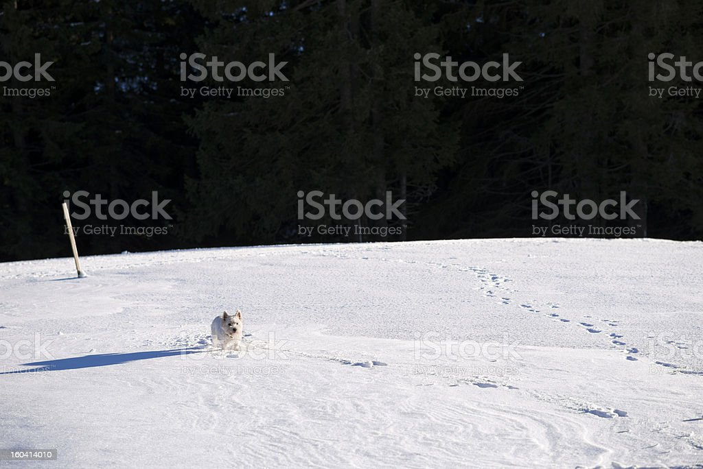 White dog in a snowfield royalty-free stock photo