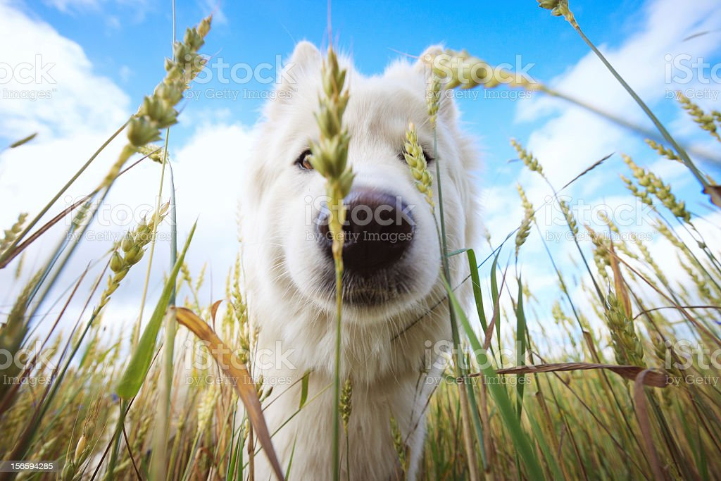 White dog in green field royalty-free stock photo