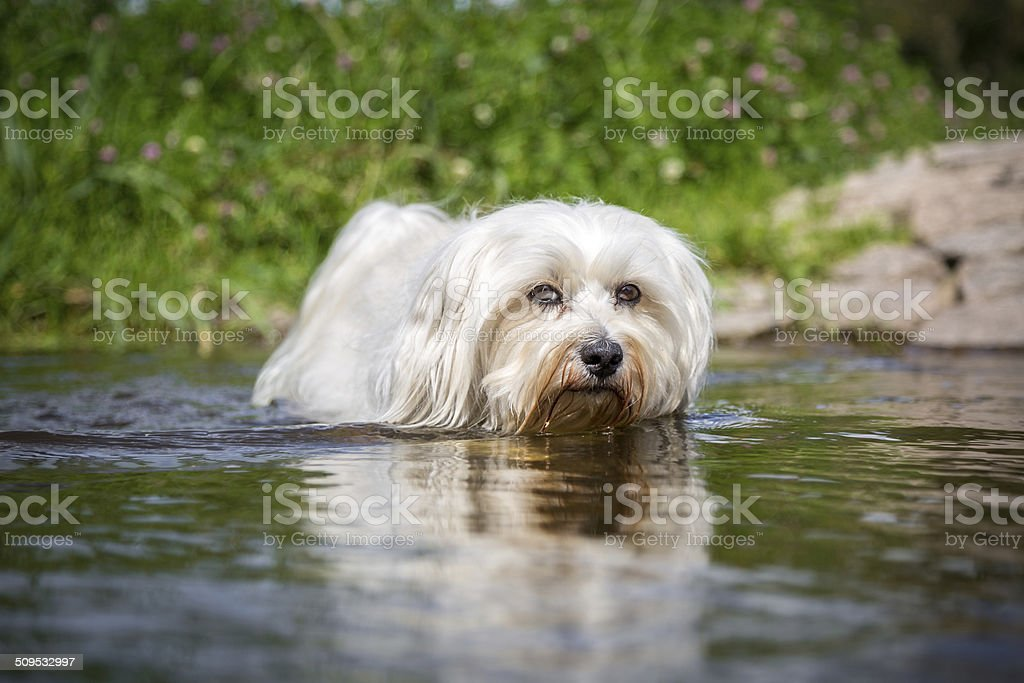 White dog in water stock photo