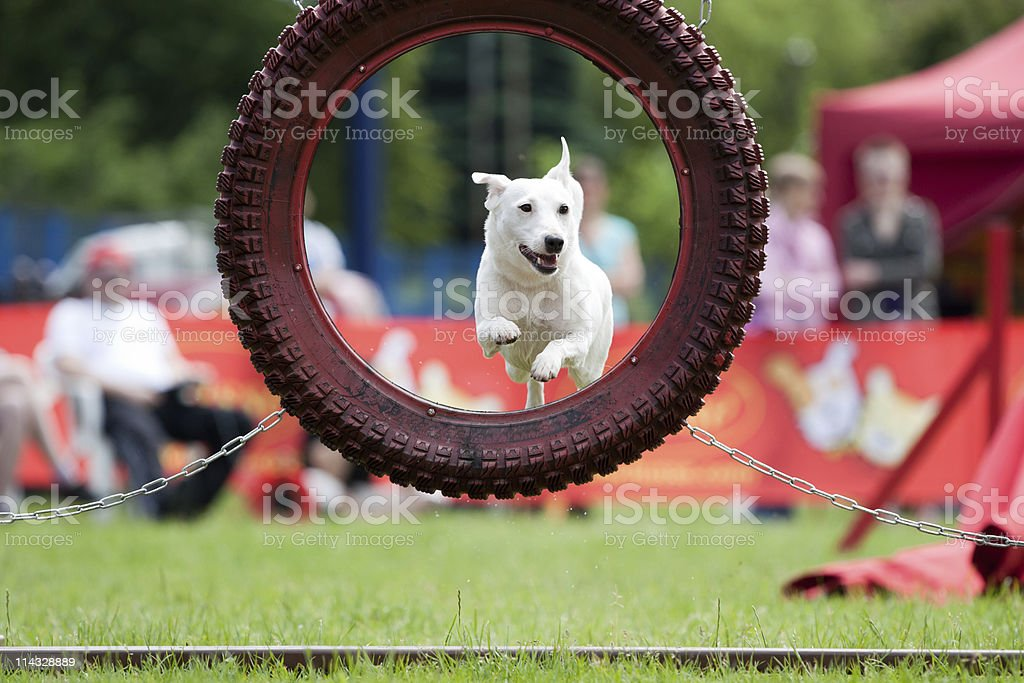 White dog jumping through an agility hoop. stock photo