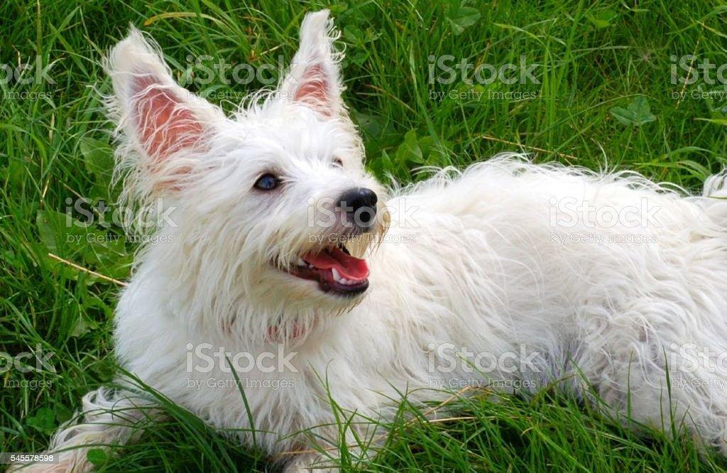 White dog looking up stock photo