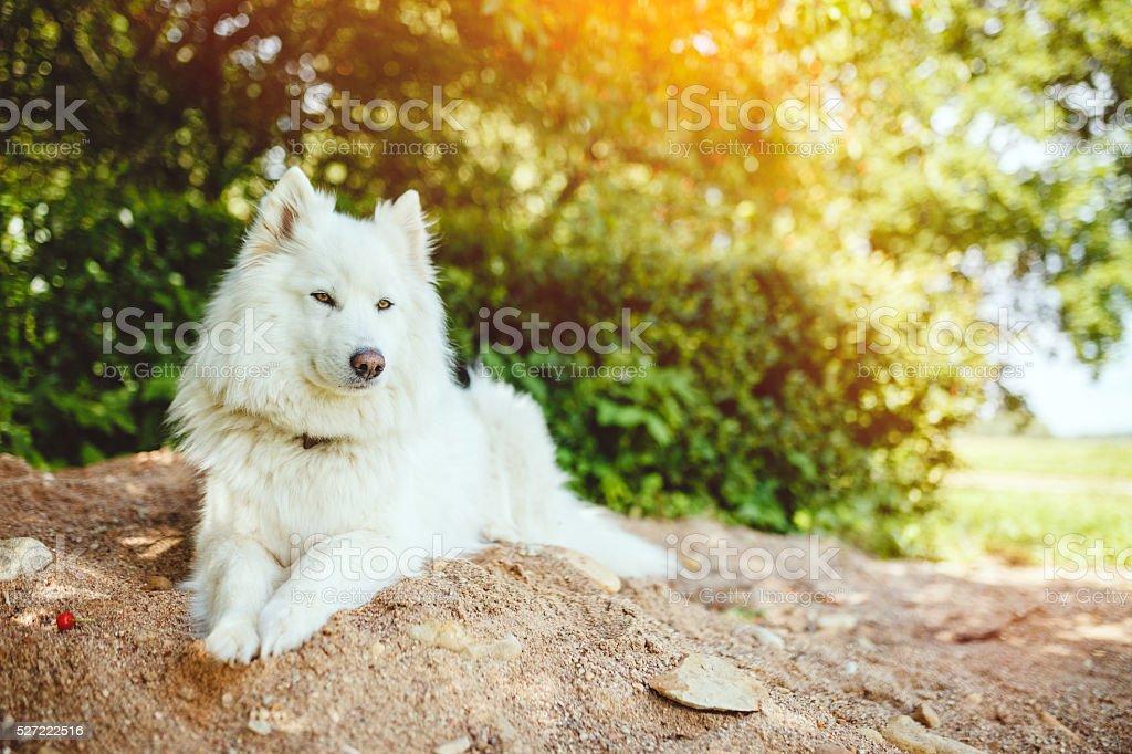 White dog lying on a sand stock photo