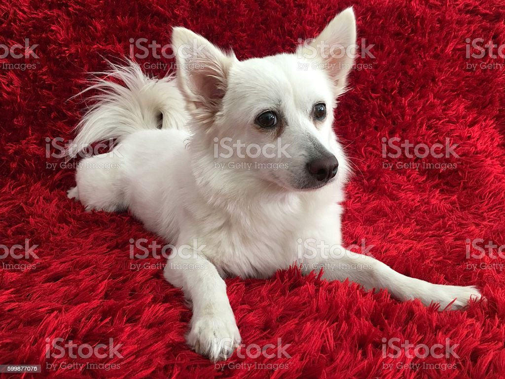 White Dog on Red stock photo