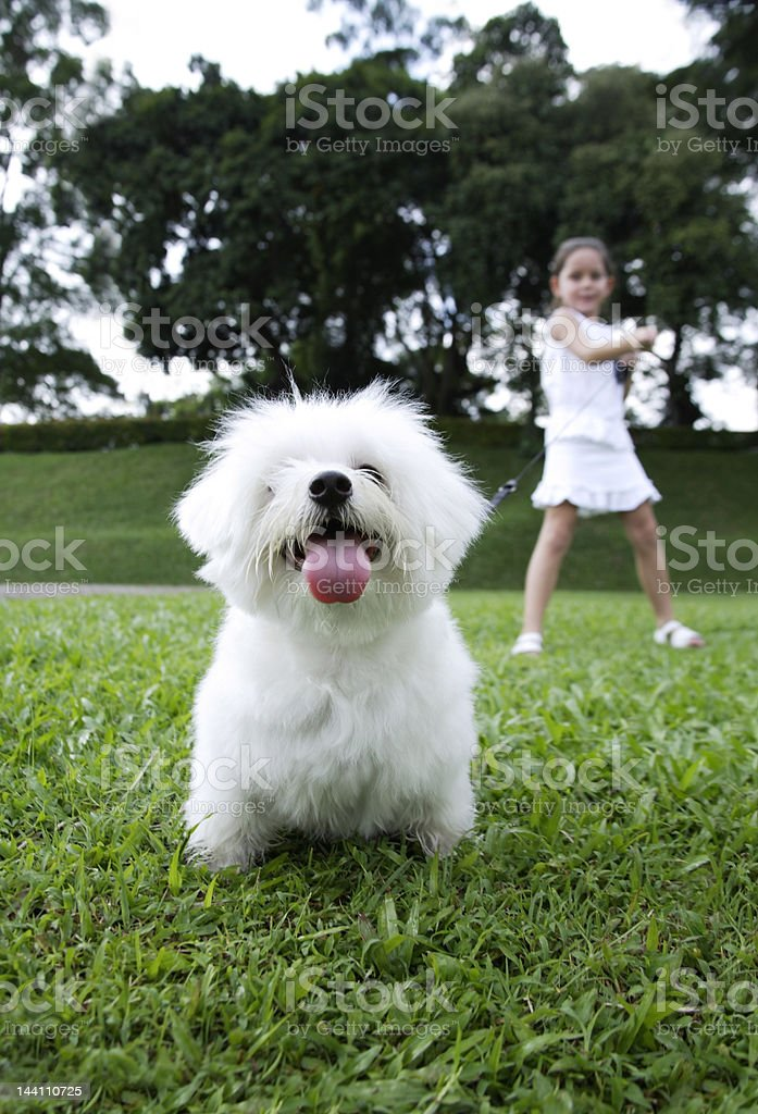 white dog pulling on leash, girl in background royalty-free stock photo