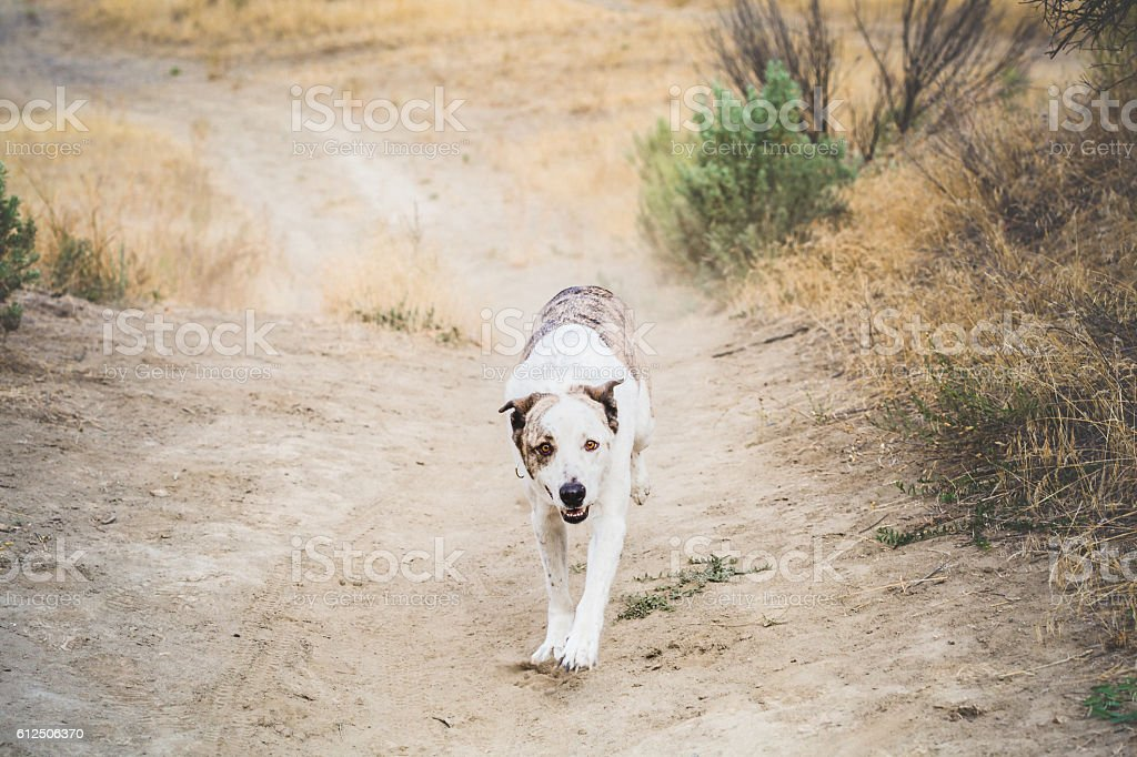 White Dog Running On Dirt Path stock photo