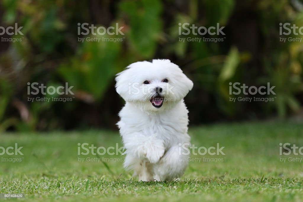 White Dog Running on the Grass stock photo
