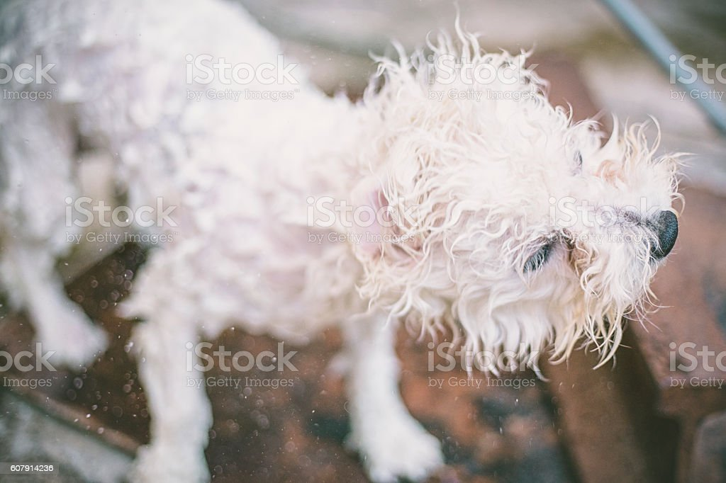 White Dog Shaking off in Water with motion blur stock photo