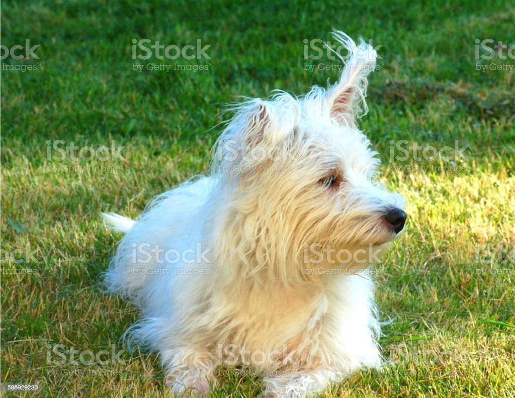 White dog sitting on grass stock photo