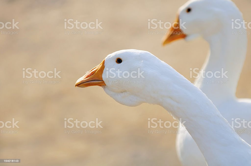 White Domestic Geese royalty-free stock photo