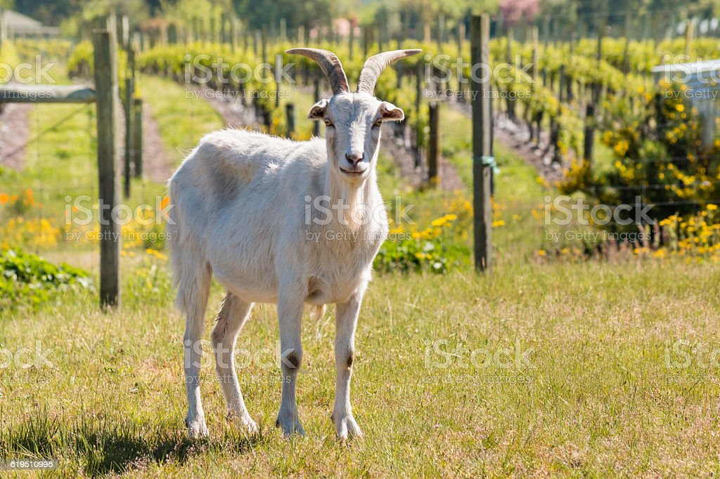 white domestic goat standing in paddock stock photo