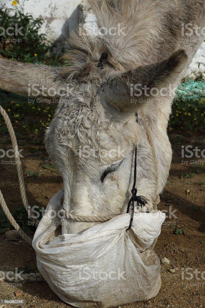 White donkey eating stock photo