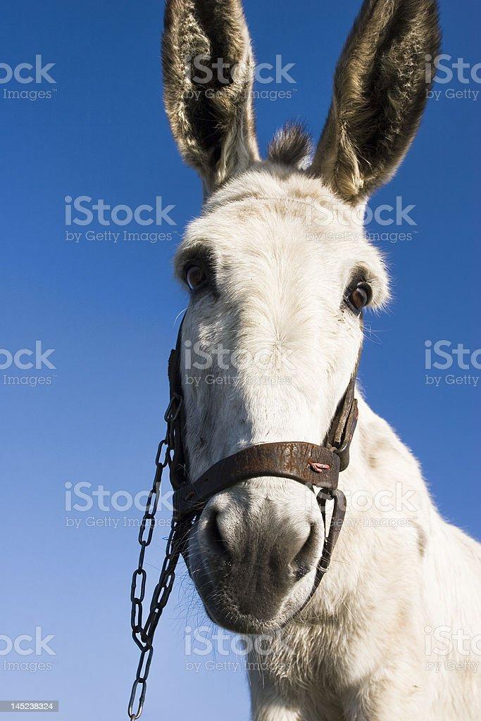 White donkey stock photo