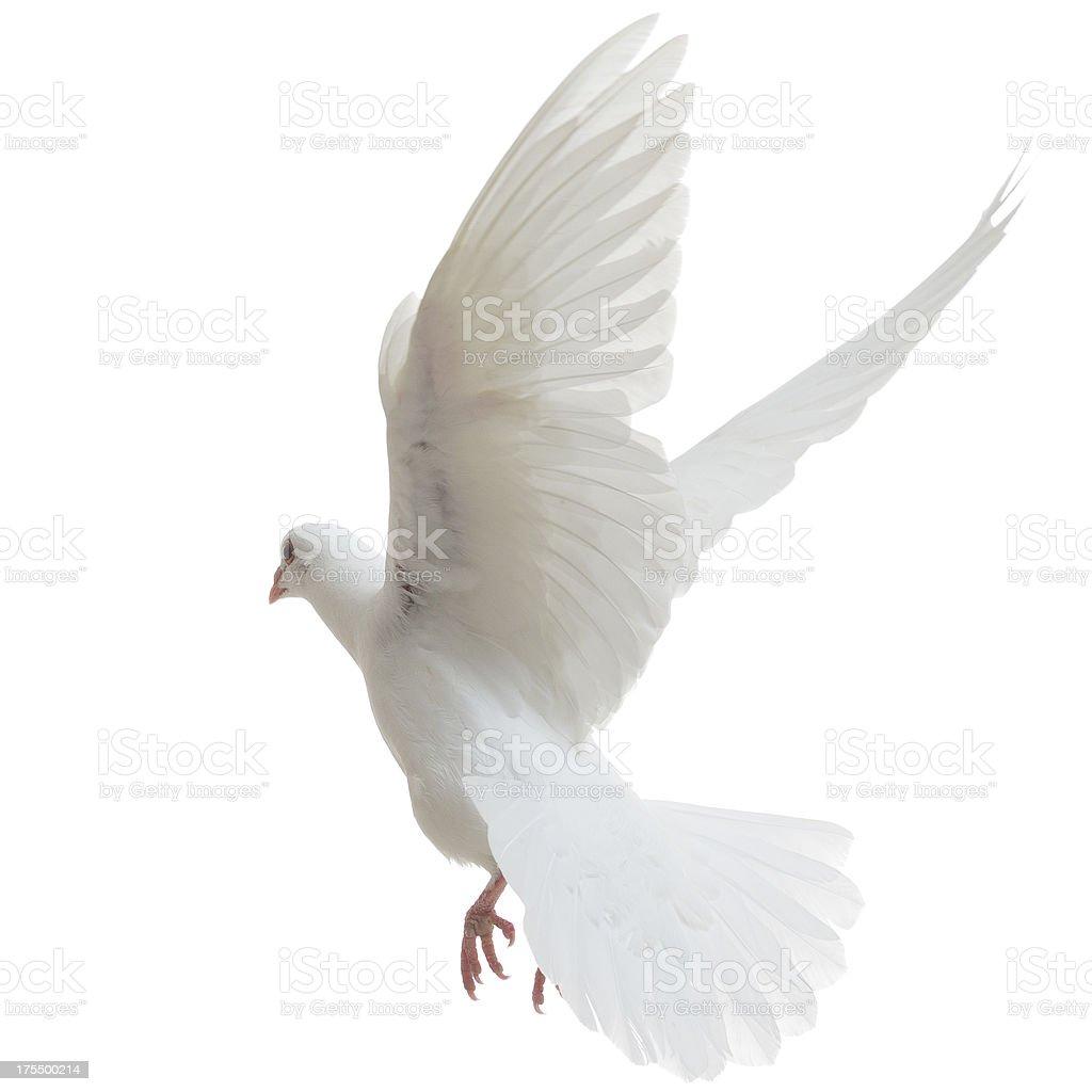 White Dove flying away stock photo